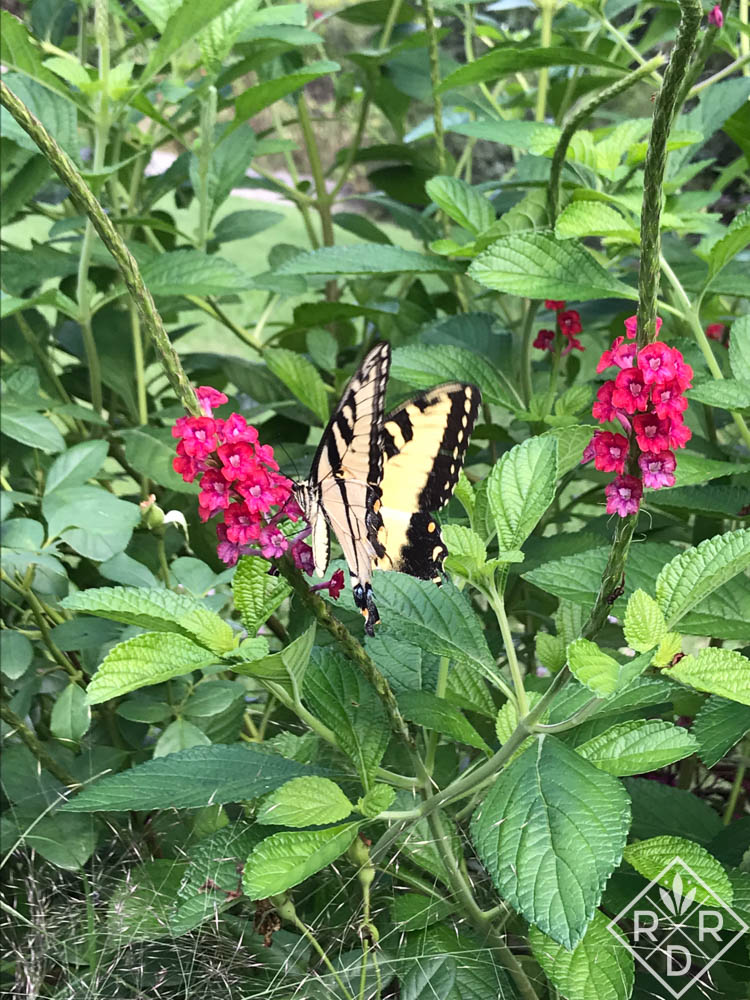 Eastern Tiger Swallowtail on false vervain.
