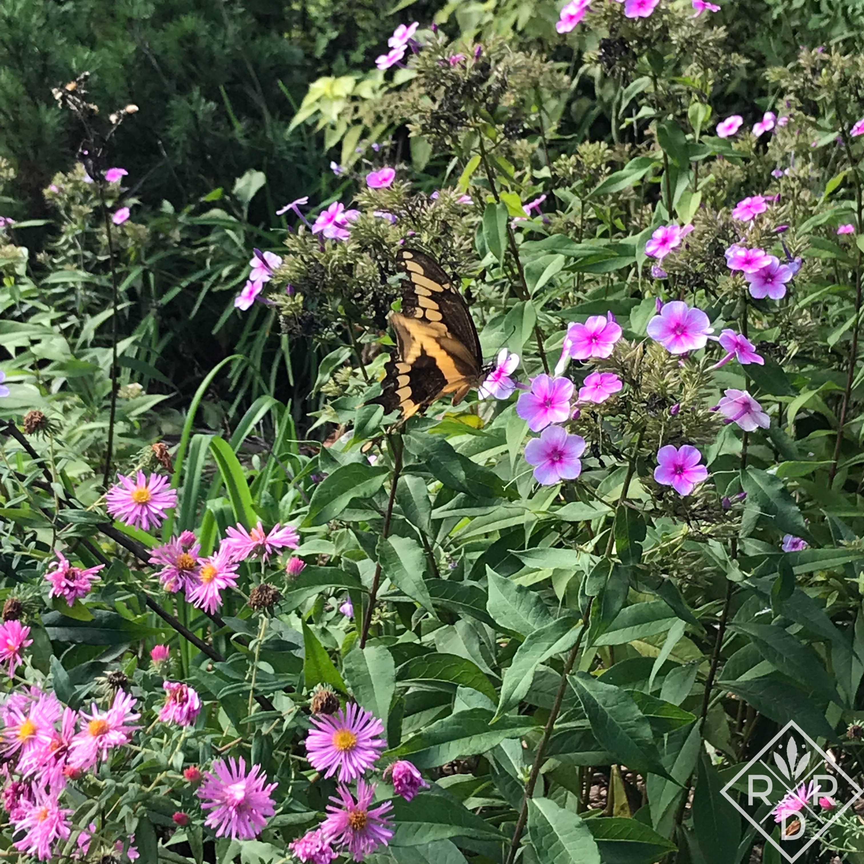 Giant Swallowtail on Phlox paniculata. I really need to cut the plant back, but the butterflies seem to enjoy the remaining blooms so much that I just don't.