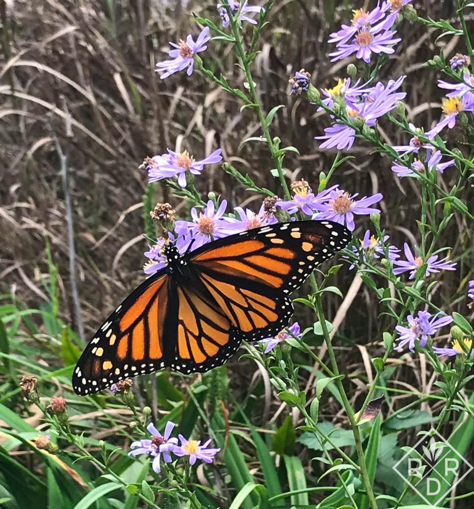Female Monarch on 'Bluebird' aster.