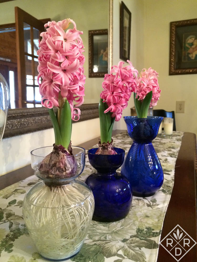 'Pink Pearl' hyacinths in blue vases are very, very pretty.