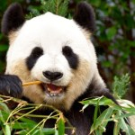 Pandas may have only recently switched to almost exclusively eating bamboo