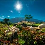 Baa Baa white sheep, have you any meat?