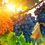 The Vine and the Branches (John 15:1-8)