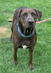 <UL> Valentina <LI> Lab/Mastiff mix  <LI> Sex: F <LI> Age: 7 yrs <LI> Fee: $250