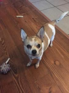 <UL> Peanut <LI> Chihuahua mix <LI> Sex: M <LI> Age: 9 yrs <LI> Fee: $200