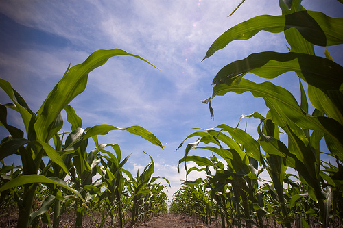 Corn, growing and expressing genes