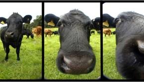 cow_Paul_Stevenson