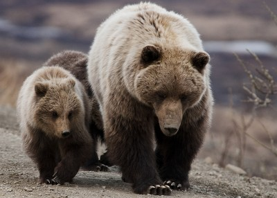endangered species grizzly bear and cubs