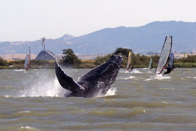 humpback whale in Sacramento River by Sarah Wilkin, NOAA