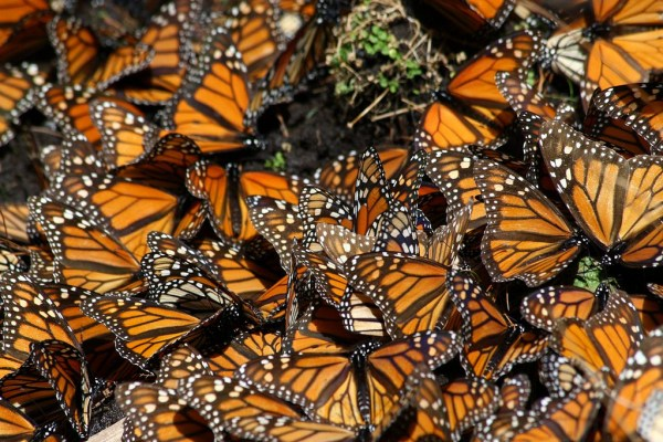 Monarch butteflies in mexico