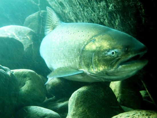 Bringing back the spring chinook salmon on California's Klamath River