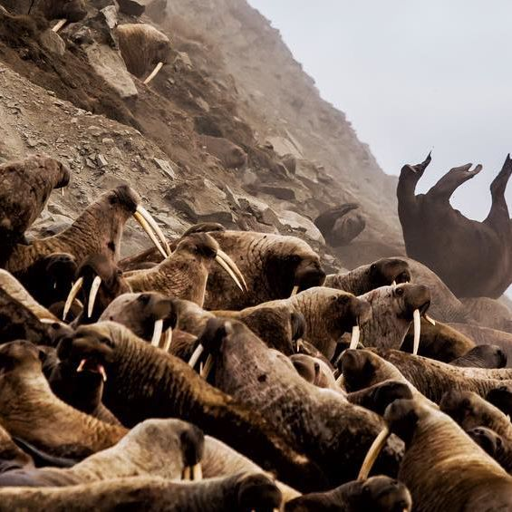 walrus scene from One Planet by David Attenborough
