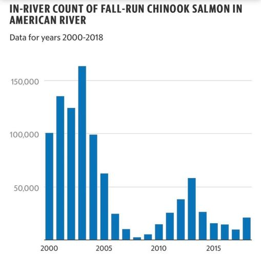salmon stats in the American river