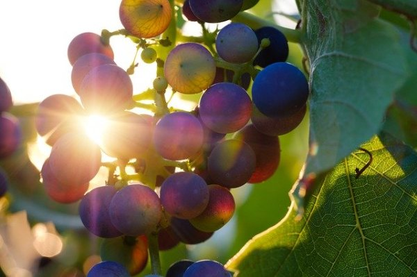 how the wine industry can adapt to climate change in Australia