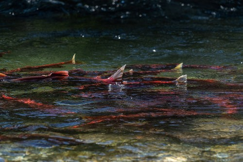 Army Corps rubber stamps proposed Alaska Pebble Mine, threatening world's largest sockeye salmon fishery