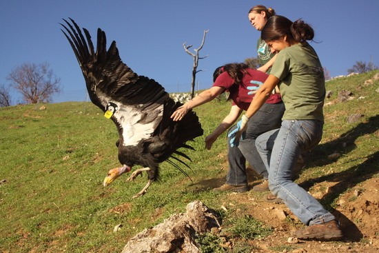 Yurok Wildlife Department Director Tiana Williams-Claussen releases a condor during a training in Big Sur. Since 2008, the Yurok Tribe has led the effort to reintroduce condors in Northern California, where the culturally invaluable birds have been absent for more than a century. Photo courtesy of Chris West, Yurok Wildlife Department.