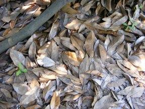 Magnolia leaves on the ground