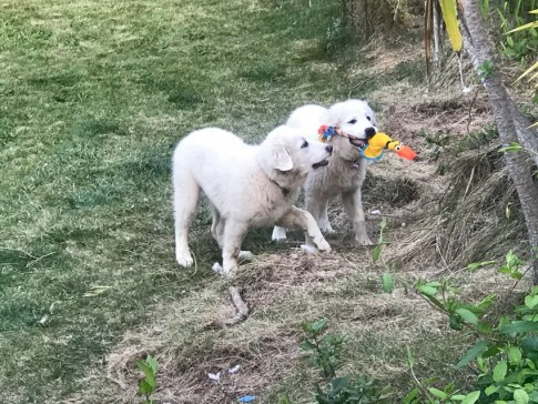 Harts Doggy Toys Pyrenees #Pyrenees #dogs #puppies #toys #ad