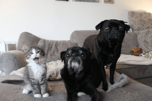 two pugs and a kitten