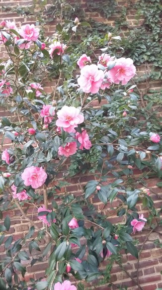 Pink double camellia, covering the garden wall