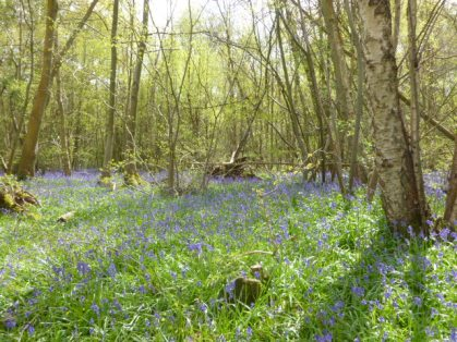 English bluebell woods May silver birch trees