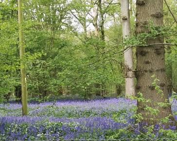 a beautiful carpet of blue