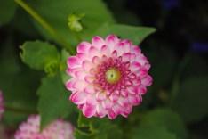 Multipetal Chrysanth
