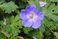 6. Blue Geranium