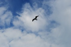 Gull over Bullock Harbour
