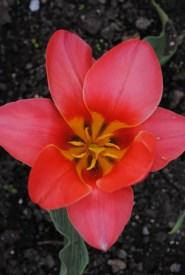 Tulipa Dream Boat