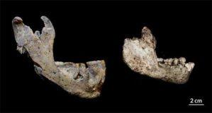 mandibulas antepasados homo