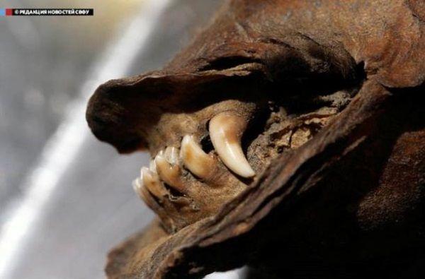Detalle de la mandíbula del perro momificado más antiguo del mundo. Crédito: NEFU