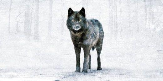 """El gran lobo, protagonista central de """"Donde aúllan las colinas""""."""