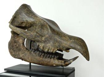 craneo de rinoceronte antiguo