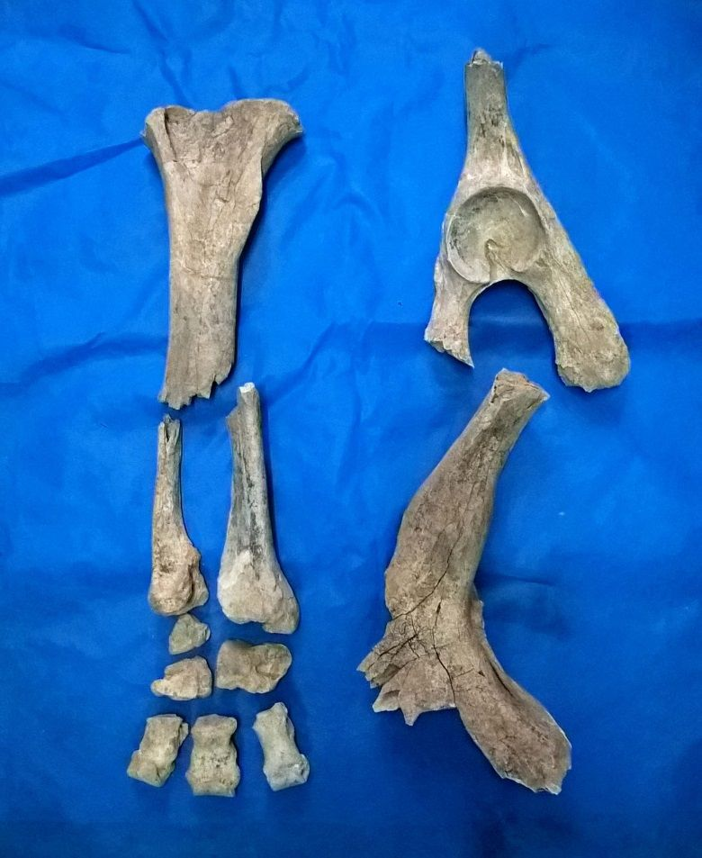 fosiles de Toxodon chapalmalensis