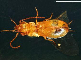 escarabajo en ambar birmania