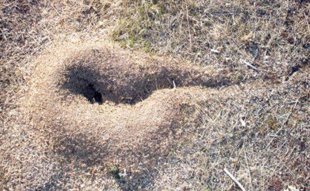 hormigas transportan fosiles