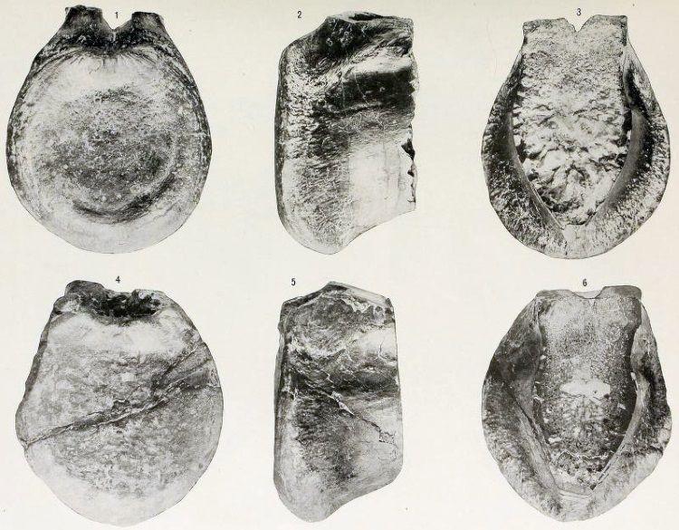 huesos de antrodemus
