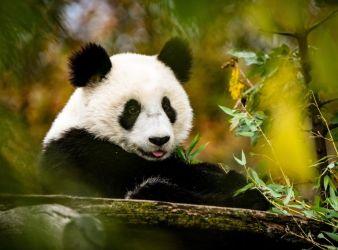 panda gigante carnivoro