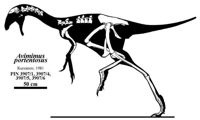 esqueleto avimimus