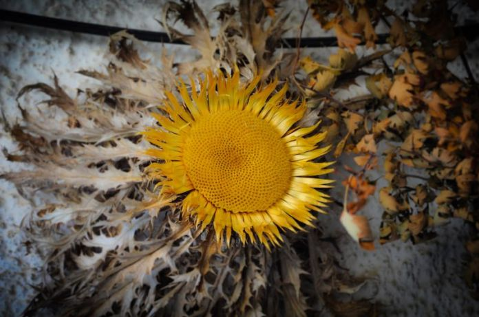 eguzkilore flor pais vasco