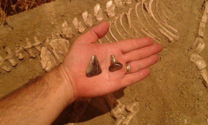 dientes tiburon blanco miramar argentina