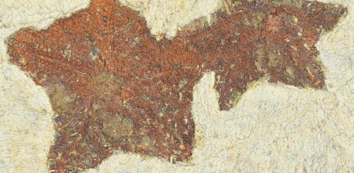 fosil estrella de mar
