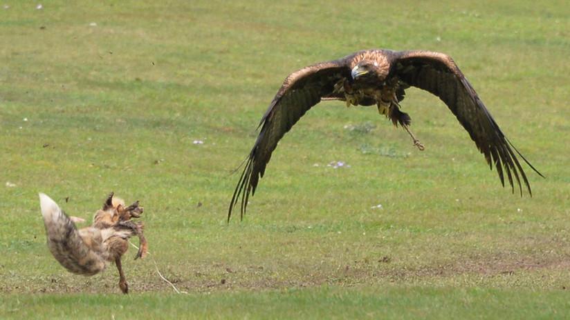 VIDEO, FOTOS: El feroz duelo entre un zorro y un águila calva por una presa