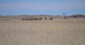 A herd of Elk (Cervus canadensis) grazing in Fort Niobrara Wildlife Refuge