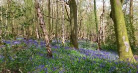 bluebell walks berkshire, bluebells, bluebell walks, where to go bluebell walk berkshire
