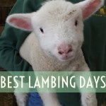 best lambing days, where to see lambs, oxfordshire, berkshire, bottle feed lambs