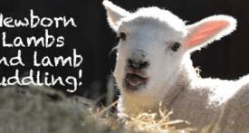 lamb feeding, hold a lamb, lambing days, farms with lambs