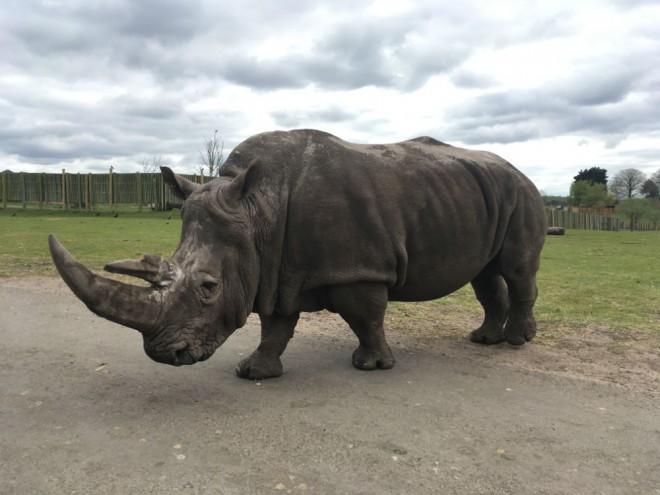 west midland safari park review, safari parks kids, rhino