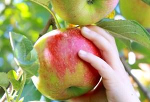 apple day swindon, harvest festival swindon